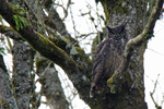 Great Horned Owl by WhaleWolf