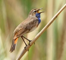 The Blues Singer - Bluethroat by Jamie-MacArthur