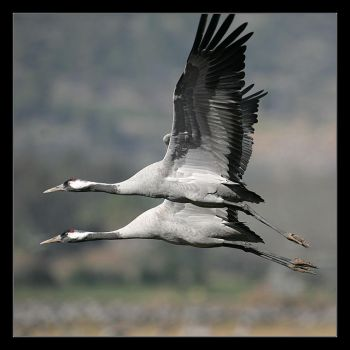 Grus Grus III by invisiblewl