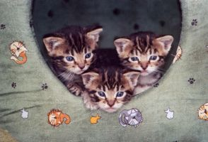 Stock Animal - Kittens 1 by Carol-Moore