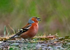 Finches have talent by lica20