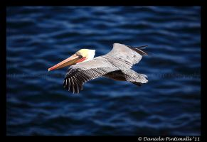 Flying Pelican by TVD-Photography