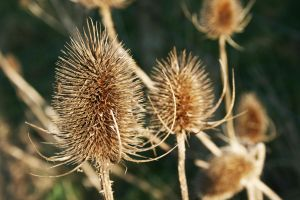 Teasels by Vendrava