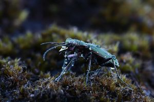 Tiger Beetle by nele102