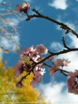 Flowering Plum 2 by s2BloodyBecca