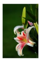 stargazer lilly by bule