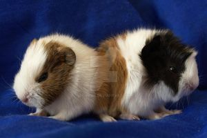 Two guinea pigs by Athrian