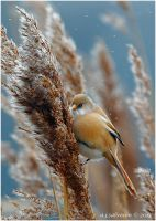 Female Bearded Tit II. by andy-j-s