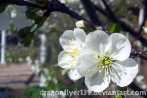 Cherry Blossoms II by DragonFlyer139