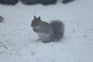 snow squirrel by Laur720