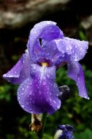 Iris Alice, After a Shower by EarthHart