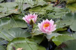 Water lily 3439 by fa-stock