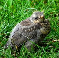 Young fieldfare by miirex