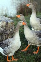 Watch Geese by organicvision