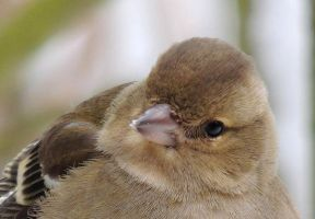 chaffinch by MountainsMarmot