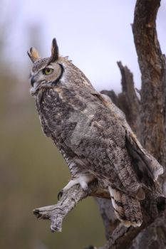 Great Horned Owl Perched High by dlitefulimagez