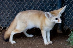 Fennec Fox 1 by hotwiar