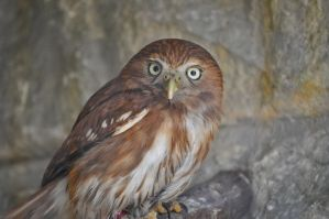 Pygmy Owl by PaperMonicle