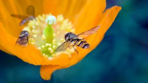 Hoverfly III by sixtyfour