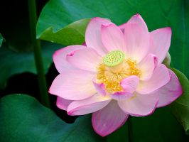 Lotus by Nevma