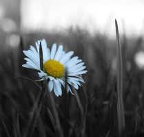 Lonely daisy... by da-phil