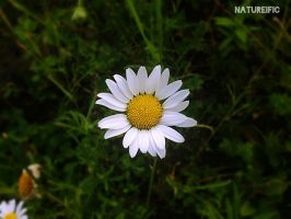 Daisy by natureific