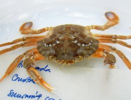 Little crab by Betagalactosidase