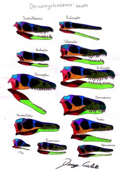 Deinonychosauria skull comparison by Dennonyx