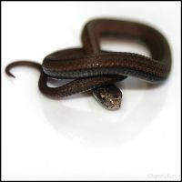 Baby Redbelly Snake 7 by UffdaGreg