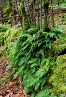 Ferns, Revisited by lupagreenwolf