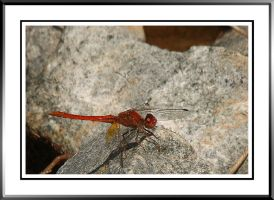 Dragonfly by Tiberius47