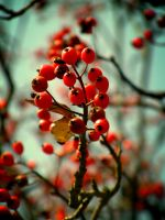 +Sorbus+ by Dra-Matha