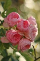 Rose Stock 13 by Malleni-Stock