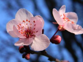 2012's Spring Plum Blossoms (6/20) by melofarcephotography