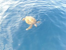 My first picture of a Giant Sea Turtle. by Flutterflyraptor