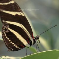 Heliconius charitonia by petertwang