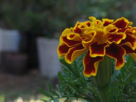 Marigold by Saston