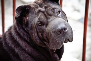 My Dog Sharpei by archaznable30