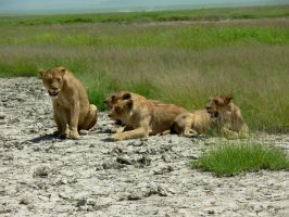 lioness pack by NikiljuiceStock