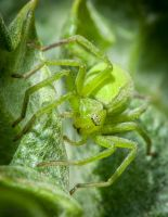 Green Spider by DavidVeevers