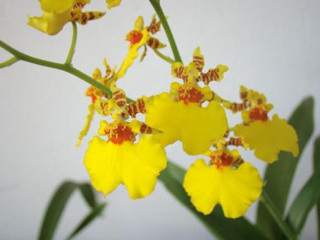 Yellow Orchid by miriambr