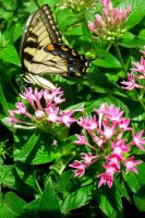 Butterfly in Pink Flowers by daughterdragon