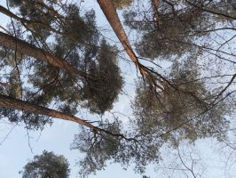 The trees by rimis