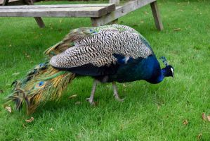 DSC 0033 02  Hungry Peacock by wintersmagicstock