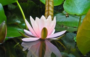 Water Lily by vojis