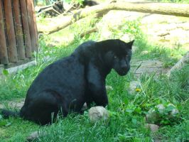 Stock 391: black panther by AlzirrSwanheartStock