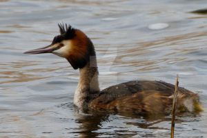 Creasted Grebe by welshbeck