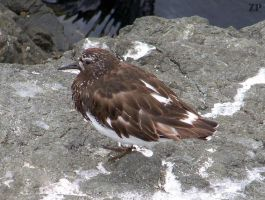 Black Turnstone by ZoPteryx
