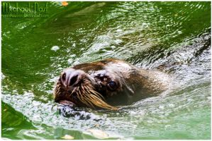 Sea Lion by MichaelNN