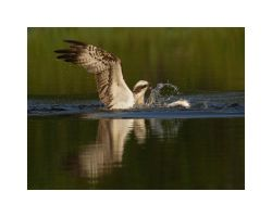 Refections -Osprey by Jamie-MacArthur